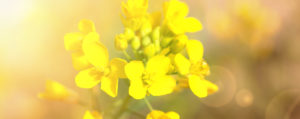 bachbluete-No-21-mustard-ackersenf
