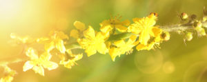 Agrimony Odermennig Nr 1 Extreme Beeinflussbarkeit Lemon Pharma Original Bachblüten Dr. Bach