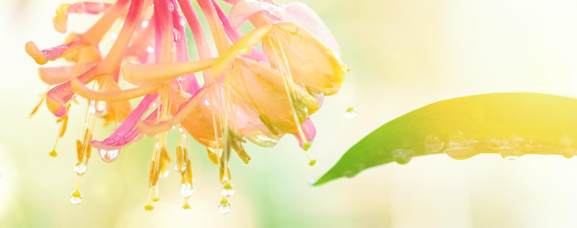 Nr 16 Honeysuckle Geissblatt Desinteresse an der Gegenwart Lemon Pharma Original Bachblüten Dr. Bach