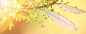 Nr 23 Olive Desinteresse an der Gegenwart Lemon Pharma Original Bachblüten Dr. Bach