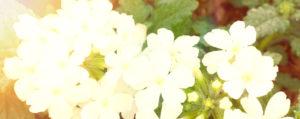 Nr 31 Vervain Eisenkraut Überbordende Sorge um Andere Lemon Pharma Original Bachblüten Dr. Bach