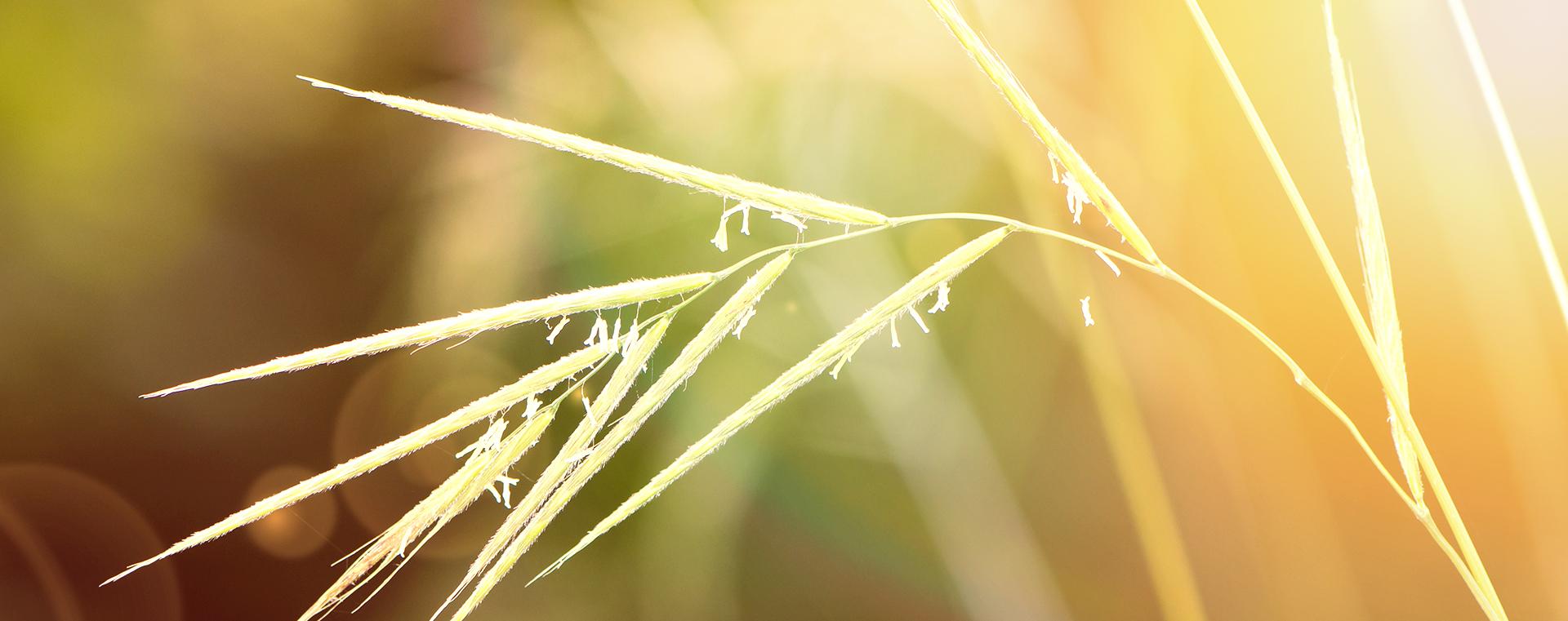 bachbluete-No-36-wild-oat-waldtrespe