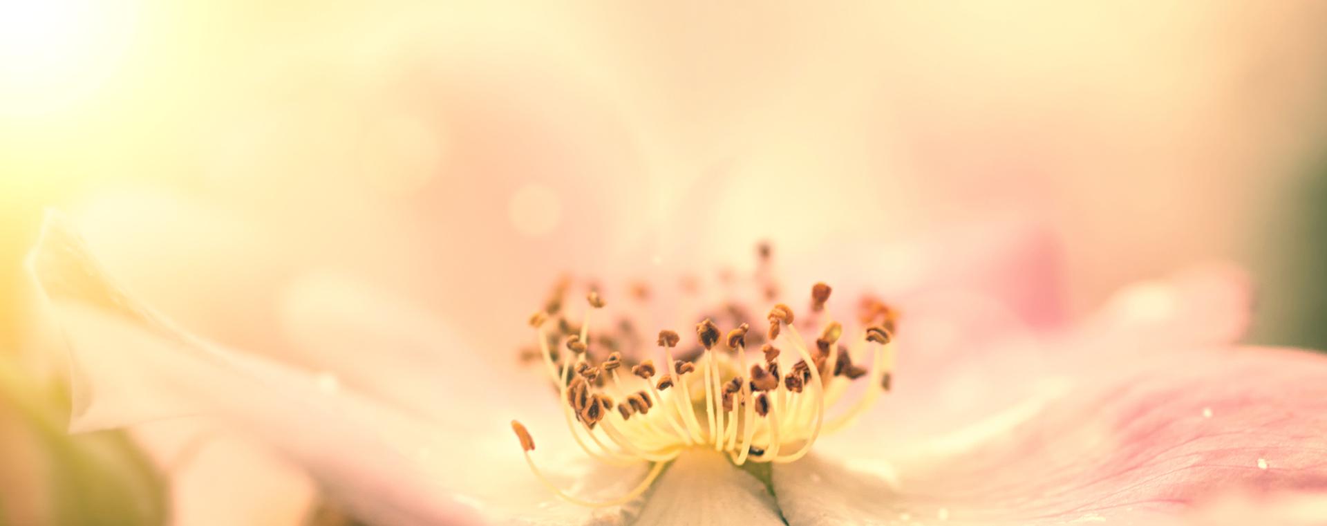 Nr 37 Wild Rose Heckenrose Desinteresse an der Gegenwart Lemon Pharma Original Bachblüten Dr. Bach