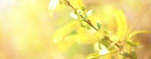 Nr 38 Willow Weide Verzagtheit und Verzweiflung Lemon Pharma Original Bachblüten Dr. Bach