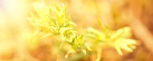 Nr 28 Scleranthus Einjähriger Knäuel Unsicherheit Lemon Pharma Original Bachblüten Dr. Bach